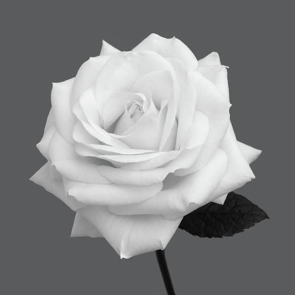 Haslemere Art Print featuring the photograph White Rose In Shades Of Grey by Rosemary Calvert