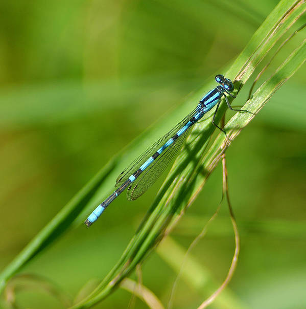 Damselfly Art Print featuring the photograph Hagens Bluet by Bill Morgenstern