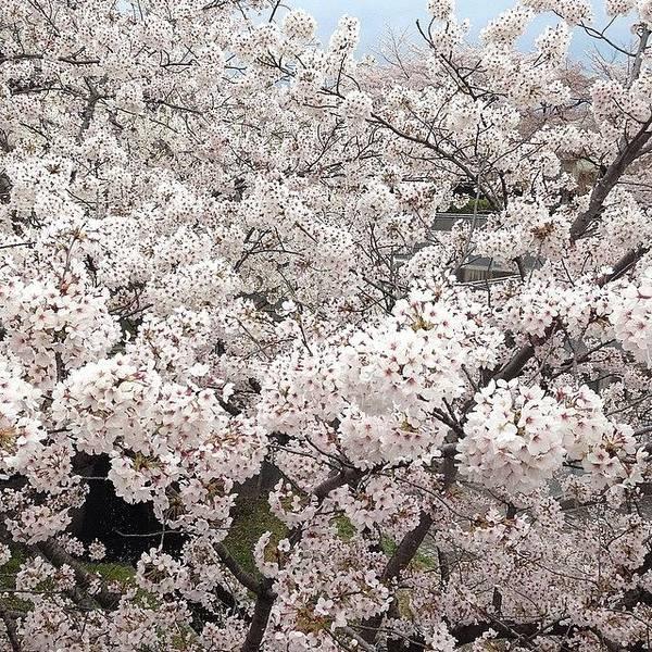 Landscape Art Print featuring the photograph Cherryblossoms #landscape by Tokyo Sanpopo
