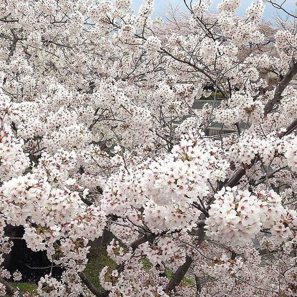 Art Print featuring the photograph Cherryblossoms by Tokyo Sanpopo