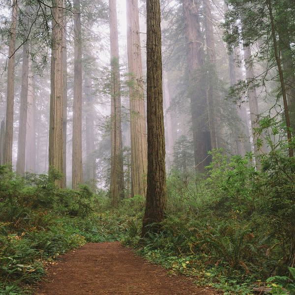 Tranquility Art Print featuring the photograph Hiking Through Californias Redwoods by David Hoefler