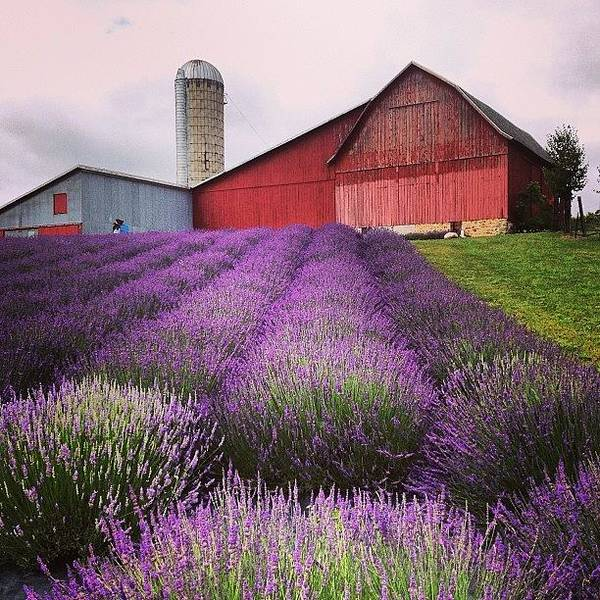 Landscape Art Print featuring the photograph Lavender Farm Landscape by Christy Beckwith