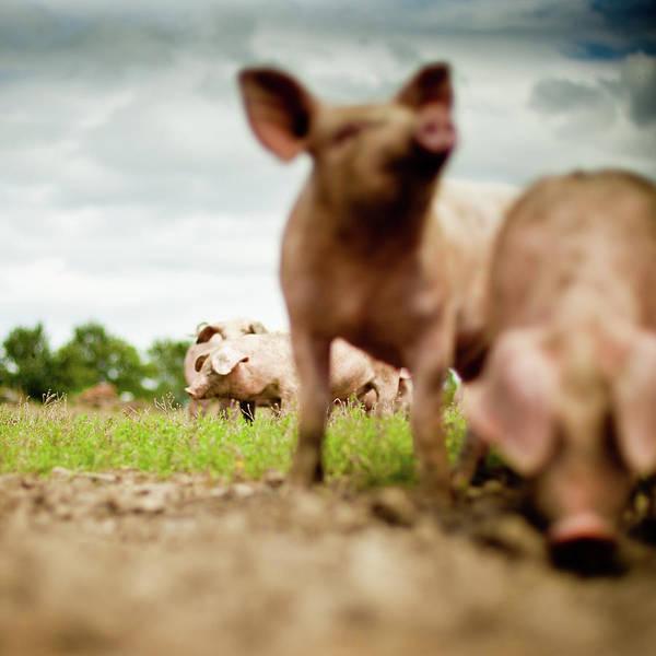 Pig Art Print featuring the photograph Little Pigs by Emmanuelle Brisson