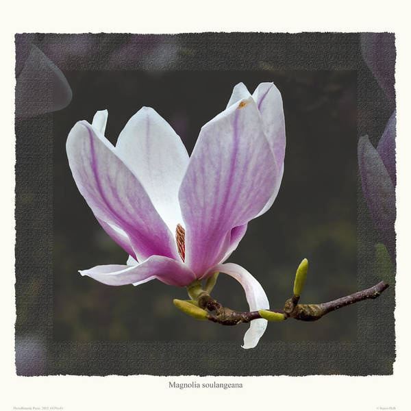 Spring Art Print featuring the photograph Magnolia soulangeana flower by Saxon Holt