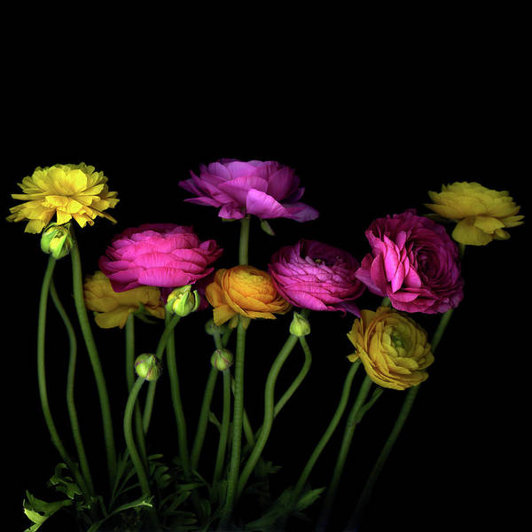 Black Background Art Print featuring the photograph Persian Buttercups Ranunculus Asiaticus by Photograph By Magda Indigo