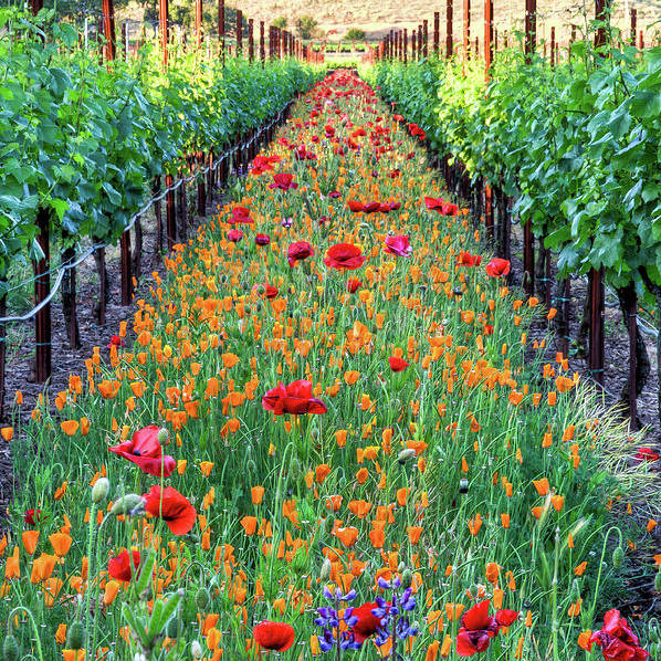 Tranquility Art Print featuring the photograph Poppy Lined Vineyard by Rmb Images / Photography By Robert Bowman