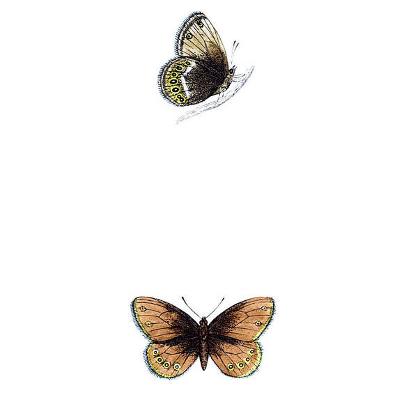 Engraving Art Print featuring the photograph Silver Bordered Ringlet - Hand Coloured by Andrew howe
