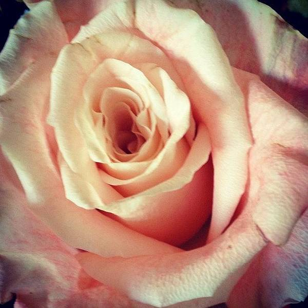 Beautiful Art Print featuring the photograph #whiterose #rose #flower #bloom #pretty by Amber Campanaro