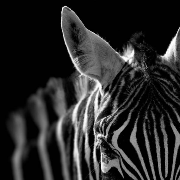 Zebra Art Print featuring the photograph Portrait of Zebra in black and white by Lukas Holas