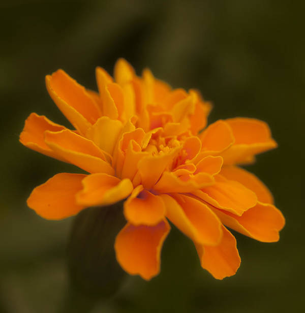 Marigold Art Print featuring the photograph Orange Marigold by Katherine Morgan