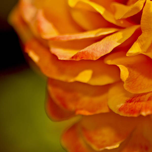 Orange Art Print featuring the photograph Orange Rose by Katherine Morgan