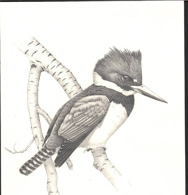 Kingfisher Art Print featuring the drawing study for Belted Kingfisher painting by Bill Gehring