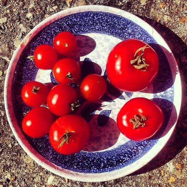 Tomato Art Print featuring the photograph The Entire Crop by Nic Squirrell