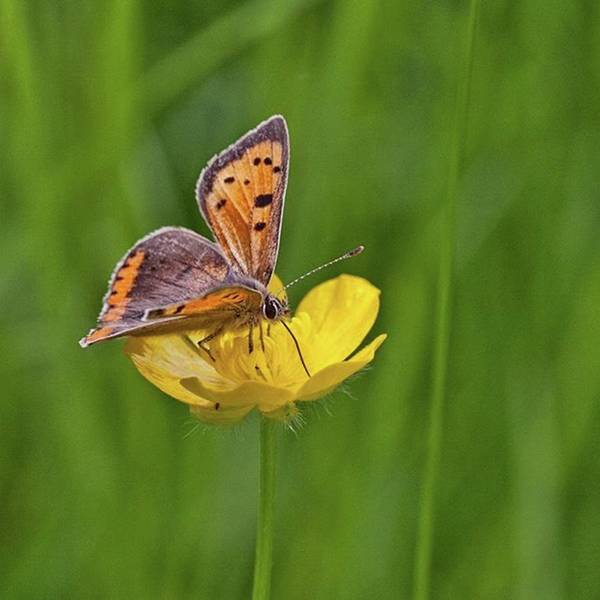 Insect Art Print featuring the photograph A Small Copper Butterfly (lycaena by John Edwards