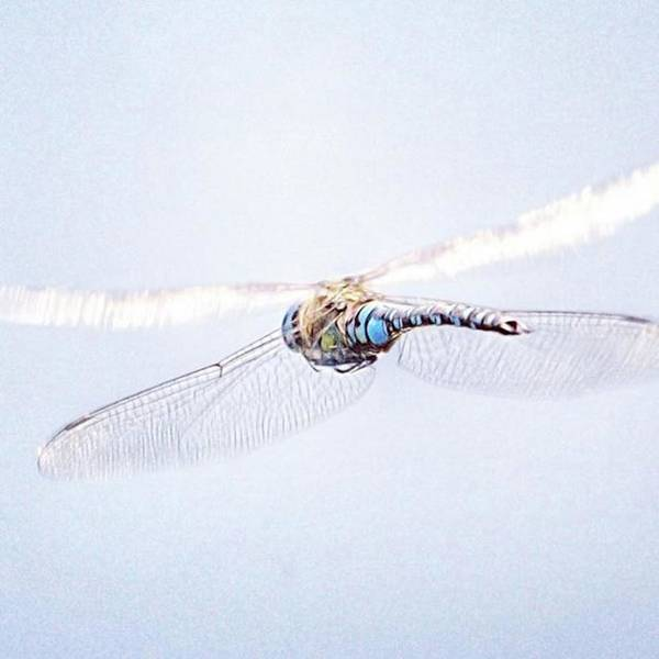 Dragonfly Art Print featuring the photograph Aeshna Juncea - Common Hawker In by John Edwards