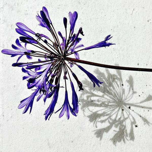 Flower Art Print featuring the photograph Agapanthus by Julie Gebhardt