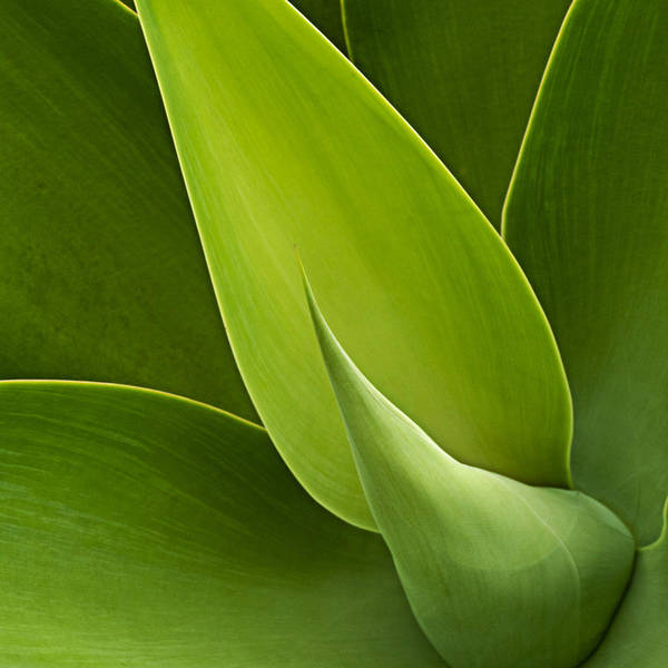 Green Art Print featuring the photograph Agave by Heiko Koehrer-Wagner