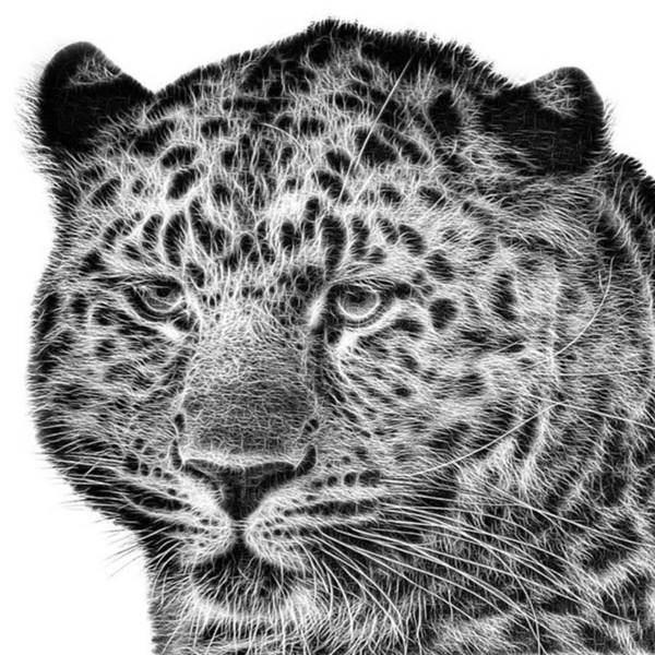 Snowleopard Art Print featuring the photograph Amur Leopard by John Edwards