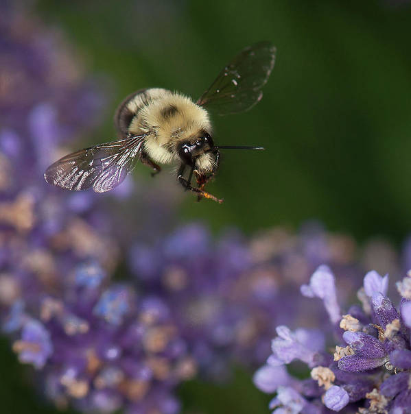 Bumblebee Art Print featuring the photograph Bee Approaches Lavender by Len Romanick