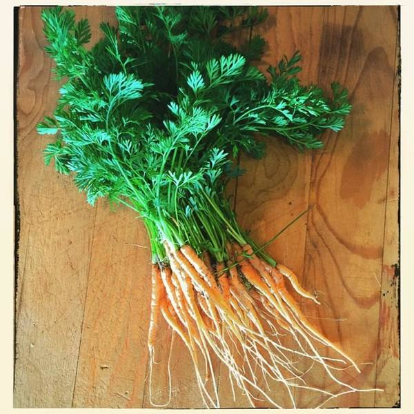 Carrots Art Print featuring the photograph Fresh Carrots by Nancy Ingersoll