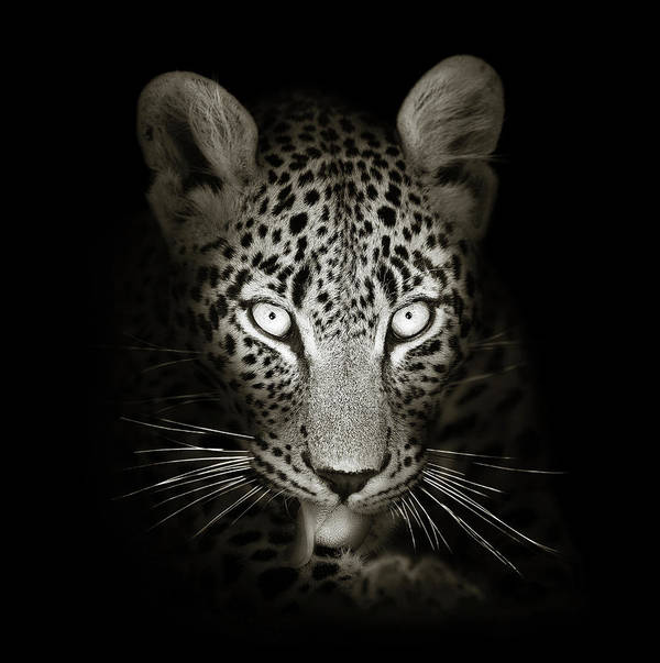 Leopard Art Print featuring the photograph Leopard portrait in the dark by Johan Swanepoel
