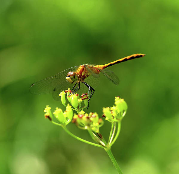Dragonfly Art Print featuring the photograph Meadowhawk by Bill Morgenstern