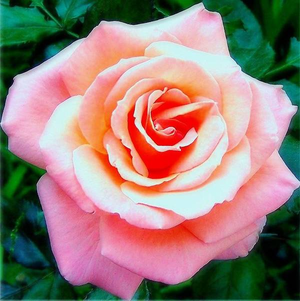 Rose Art Print featuring the photograph Pink Dawn Rose by Dina Sierra