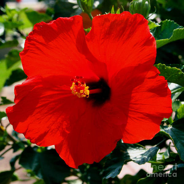 Red Art Print featuring the photograph Red Bloomers by Paul Anderson