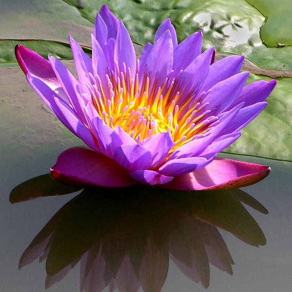 Water Lily Art Print featuring the photograph Sunburst Lily by John Lautermilch