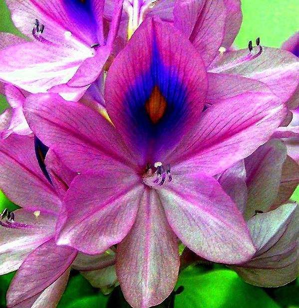 Floral Art Print featuring the photograph Water Hyacinth by Dina Sierra