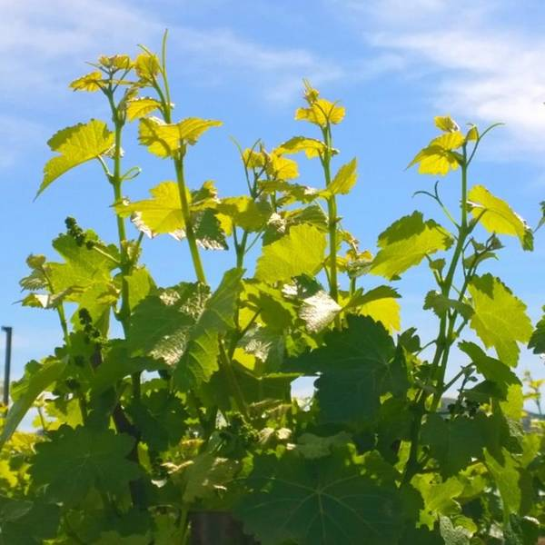 Plants Art Print featuring the photograph #wine #vines Reaching For The Sky :-) by Shari Warren