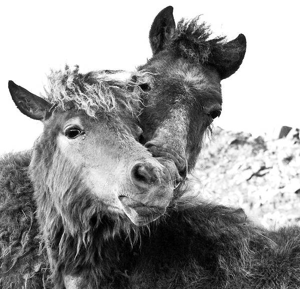 Working Animal Art Print featuring the photograph Dartmoor Ponies by Adam Hirons Photography