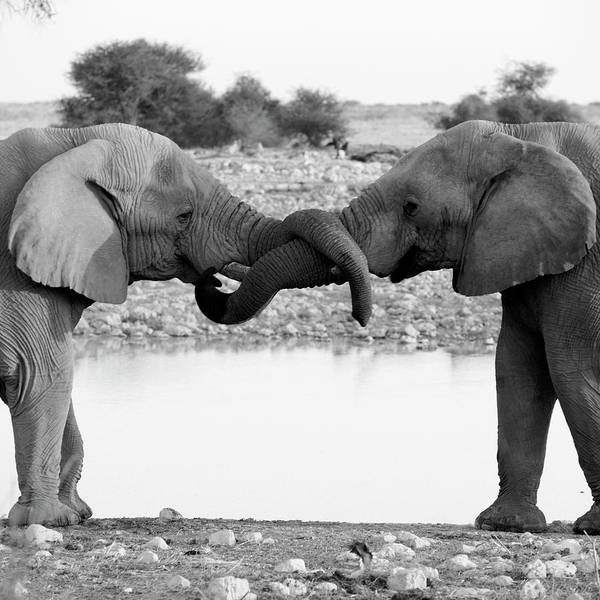 Animal Trunk Art Print featuring the photograph Elephants Curling Trunk by Harrykolenbrander