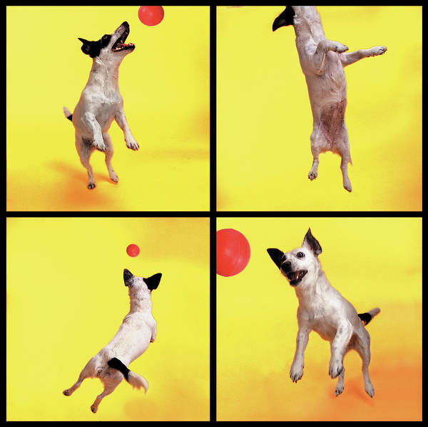 Pets Art Print featuring the photograph Jack Russell Jumping For Ball by Photodisc