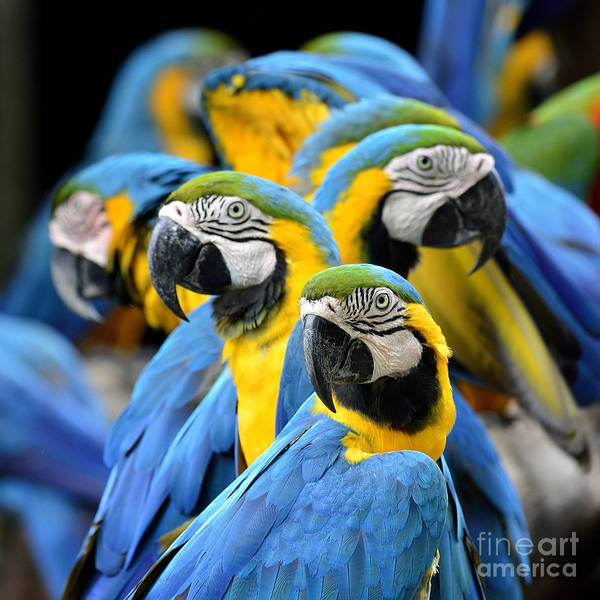 Feather Art Print featuring the photograph Many Of Blue And Gold Macaw Perching by Super Prin