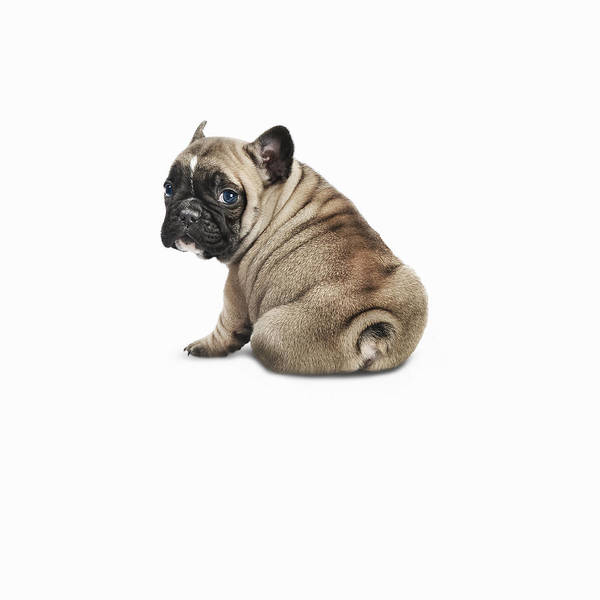 Pets Art Print featuring the photograph Pedigree French Bulldog Against A White by Andrew Bret Wallis