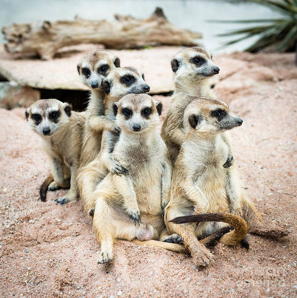 Small Art Print featuring the photograph Suricate Or Meerkat Family by Tratong