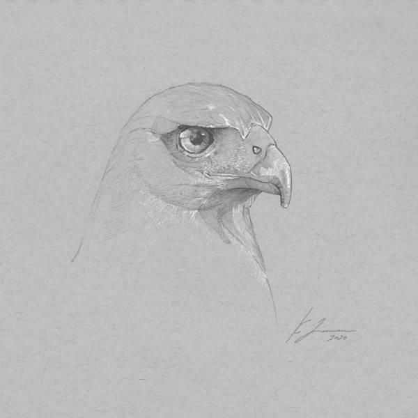 Harris's Hawk Art Print featuring the drawing Harris's Hawk by Kirk Zimmerman