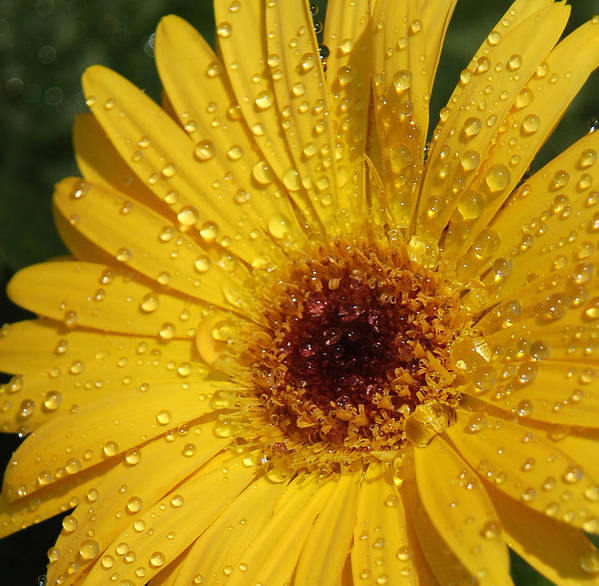 Yellow Art Print featuring the photograph Yellow Gerbera by Suzanne Gaff