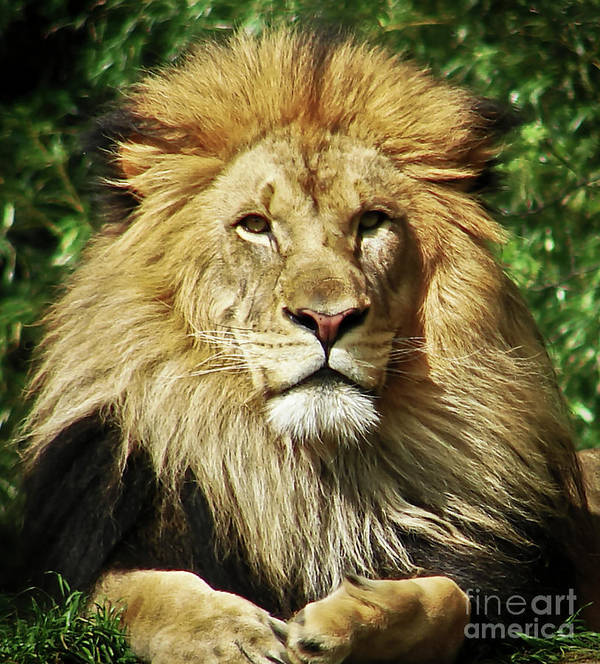 Lion Art Print featuring the photograph Lion King by Cathy Mounts