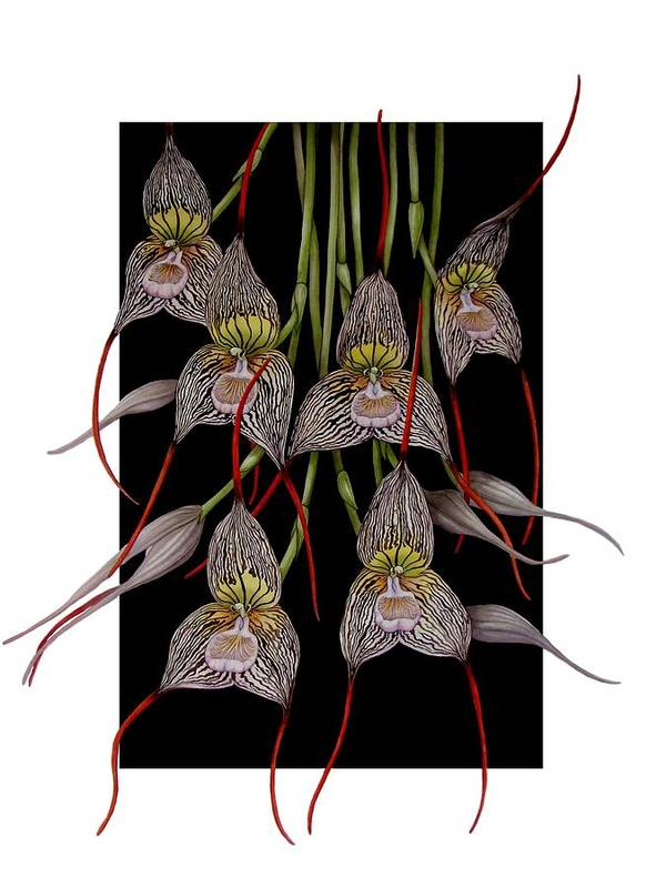 Orchid Art Print featuring the painting Dracula Vampira by Darren James Sturrock