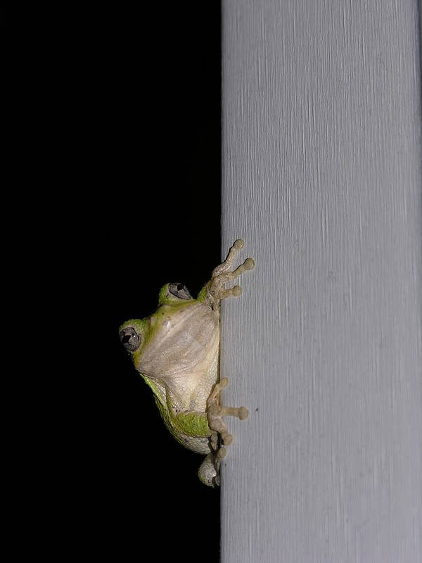 Nature Art Print featuring the photograph Tree Frog by Anna Dubon