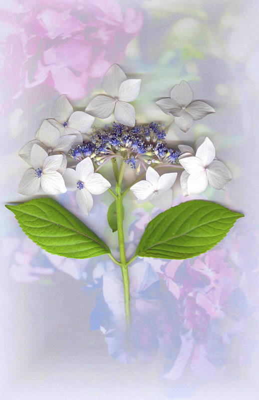 Lacecap Hydrangea Art Print featuring the mixed media Lacecap Hydrangea by Sandi F Hutchins