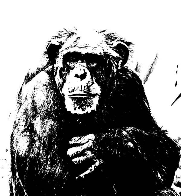 Chimpanzee Art Print featuring the photograph Thinking by Chauncy Holmes