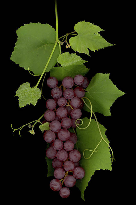 Grapes Art Print featuring the mixed media Fruit Of The Vine by Sandi F Hutchins