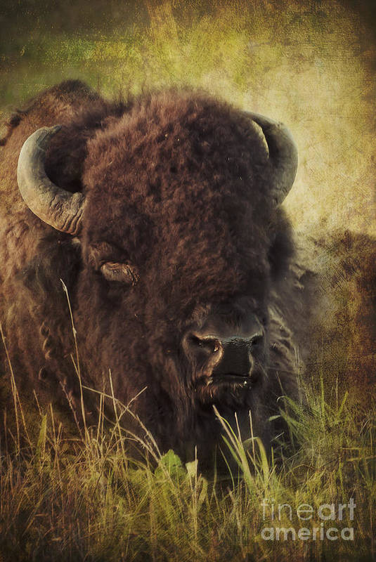 Bison Art Print featuring the photograph Morning In The Prairie by Iris Greenwell