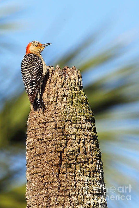 Bird Art Print featuring the photograph Red Bellied Woodpecker by Rick Mann