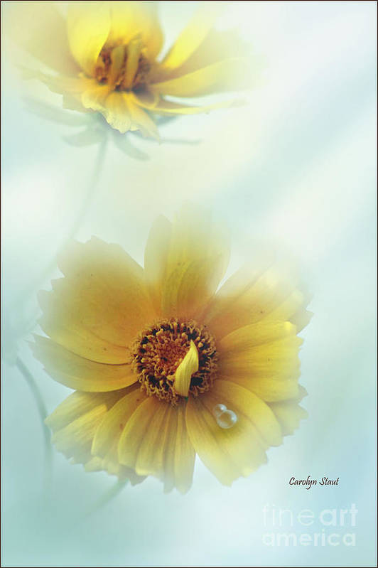 Floral Daisie Yellow Petal Garden Blues Raindrop Soft Colors Framed Matted Canvas Photography Digital Art Print featuring the photograph Not Quite Perfect by Carolyn Staut