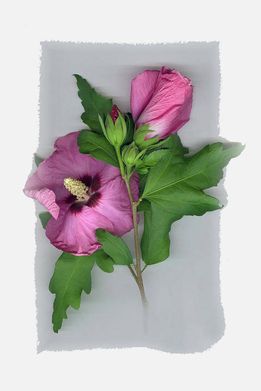 Art Print featuring the photograph Rose of Sharon by Sandi F Hutchins