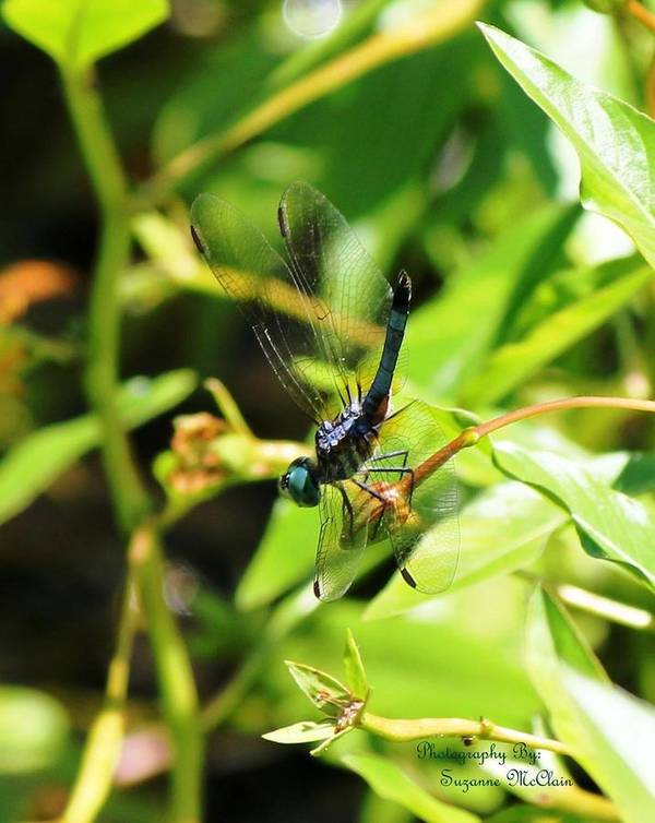 Dragonfly Art Print featuring the photograph Perfect Parity by Suzanne McClain